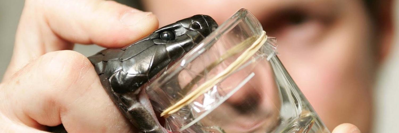 Du venin de serpent et de la bière pour lutter contre les AVC