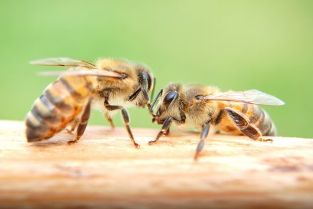 abeilles ruche houblon