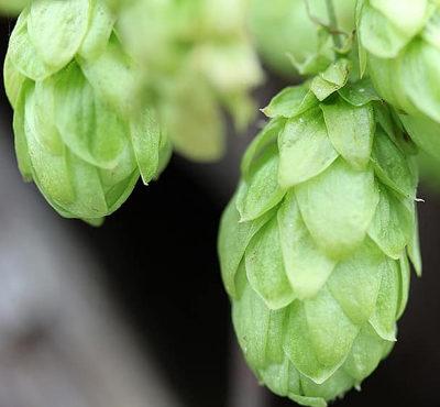 Quand l'agriculture biologique fait les yeux doux à la bière