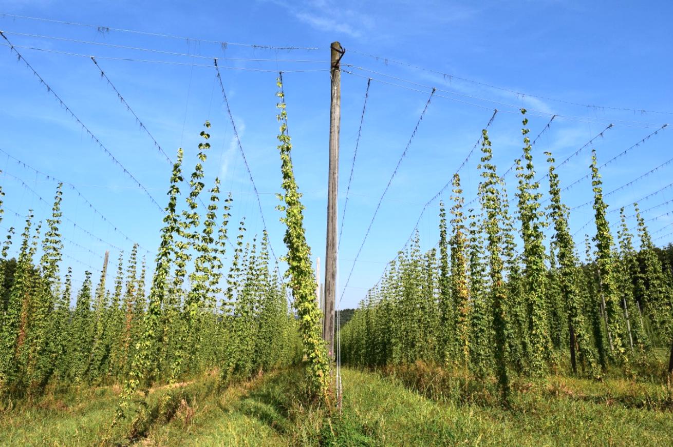 harvest ale