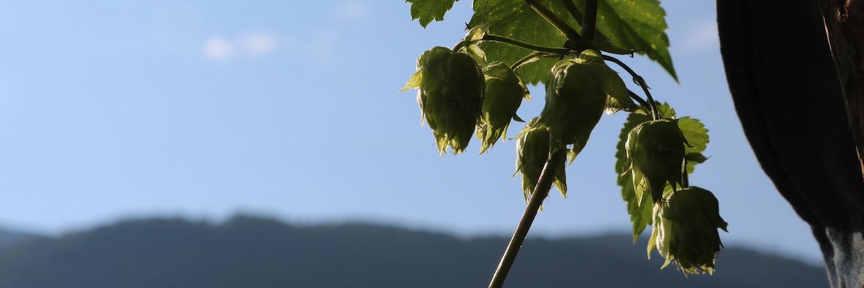 Culture du houblon : comment le faire fructifier dans son jardin ou sur son balcon ?
